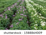 Potato Field With Purple And...