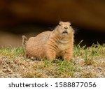 Black Tailed Prairie Dog On The ...