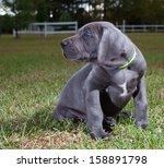 Grey Great Dane Puppy With Blu...