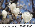 Magnolia Blooming In Spring In...