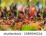 Carnivorous Plant In The Bog ...