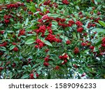 Willowleaf Cotoneaster ...