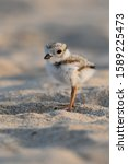 Small photo of An adorable hatchling Piping Plover on the beach.