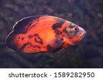 Bright Oscar Fish Swimming In...
