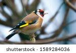 Goldfinch Carduelis Carduelis...