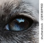 Small photo of Eye detail of a dog in blue. Eye defect and inborn color.