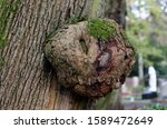 Burl On A Tree Trunk In A Park...