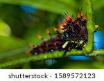 Large Black And Red Caterpillar ...