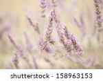 lavender  | Shutterstock . vector #158963153