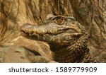 Crocodile Portrait With Head...