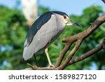 The Black Crowned Night Heron ...
