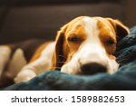 Beagle Dog Tired Sleeps On A...