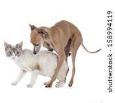 Stock photo dog playing with a cat on a white background in studio 158994119