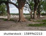 Flood Damaged Trees In Niobrar...