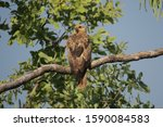 Whistling Kite Sitting On The...