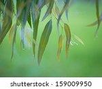 Eucalyptus Leaves In Rainy Day