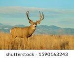 Mule Deer Buck Environmental...