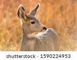 Autumn Mule Deer   A Close Up...