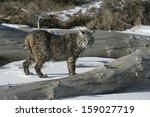 Bobcat  Blue   Lynx Rufus...