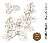capers. vintage botany vector... | Shutterstock .eps vector #1590277810