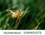 Grasshopper Jump Close Up ...