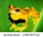 Costa Rica Frog. Hourglass...