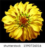 Dahlia Flower Yellow. Flower...