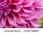 close up of pink flower   aster ... | Shutterstock . vector #159076889