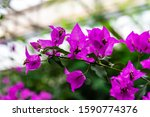 Close Up View Of Bougainvillea...