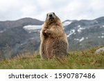 Marmot with carrot in the Alps