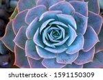 Macro Blue Fresh Succulent...
