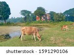 Small photo of Budge Budge, West Bengal, 12/15/2019: Ancient ruins of the Achipur Barood Ghar, officially known as the Achipur Powder Magazine. A few hundred years old building, with cattle roaming in front of it.