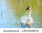 Trumpeter Swan Male Swimming I...
