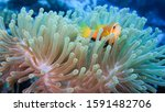 Clownfish In Anemone In The...