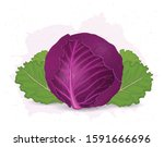 red cabbage vector illustration ... | Shutterstock .eps vector #1591666696