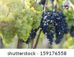 Red And White Grapes in the Vineyard By Harvest Time - stock photo