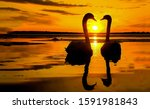 Sunset swan couple silhouettes. ...