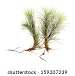 tillandsia isolated on white... | Shutterstock . vector #159207239