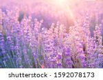 Small photo of Lavender bushes closeup on sunset. Sunset gleam over purple flowers of lavender. Provence region of france.