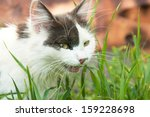 Black And White Domestic Cat...