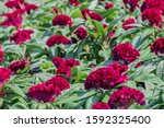 Beautiful Red Celosia Cristata...
