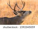 Bull Mule Deer   Close Up View...