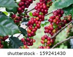 coffee beans on trees | Shutterstock . vector #159241430