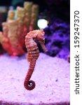 Seahorse  Hippocampus Comes ...