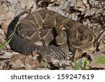 Timber Rattlesnake, Black Phase - Photographed in Elk State Forest, Pennsylvania