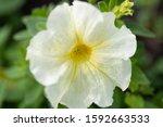 Petunia   Close Up Of Petunia...