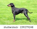 the lovely manchester terrier...   Shutterstock . vector #159279248