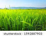 Agriculture Green Rice Field...