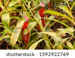 Nepenthes predatory plant, two red jugs, a jug of fresh natural carnivorous tropical plant Nepenthes hiding in the foliage of tropical lianas