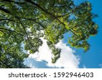 Large Elm Tree That A Lots Of...